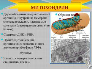 В состав аппарата Гольджи входят: полости, ограниченные мембранами и располож