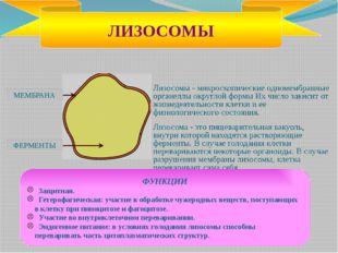 Гладкая эндоплазматическая сеть Производит различные липиды и углеводы. Шерох