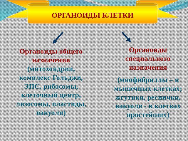 Органоиды общего назначения (митохондрии, комплекс Гольджи, ЭПС, рибосомы, кл...