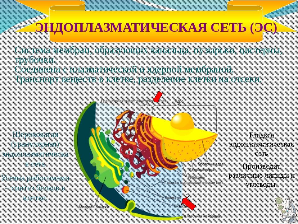 Строение жгутиков и ресничек У всех эукариот типичный жгутик состоит из базал...