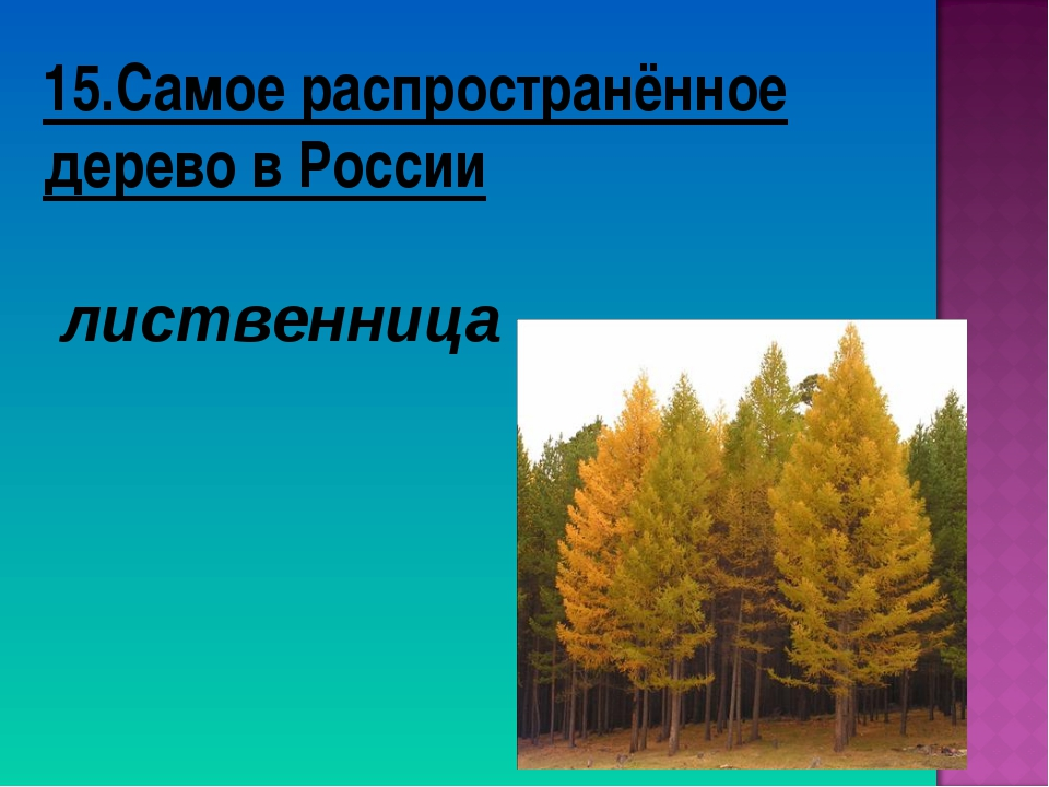 15.Самое распространённое дерево в России лиственница