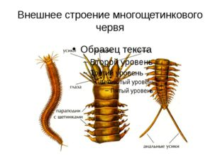 Внешнее строение многощетинкового червя