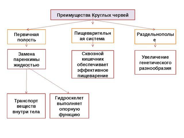 Преимущества Круглых червей Первичная полость Раздельнополые Замена паренхимы...