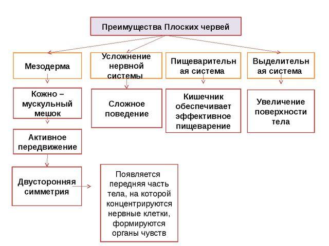 Преимущества Плоских червей Мезодерма Выделительная система Кожно – мускульны...