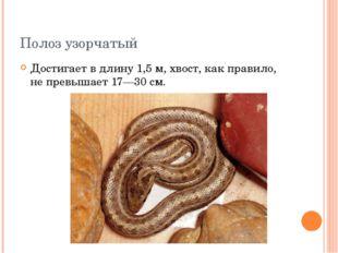 Полоз узорчатый Достигает в длину 1,5 м, хвост, как правило, не превышает 17—