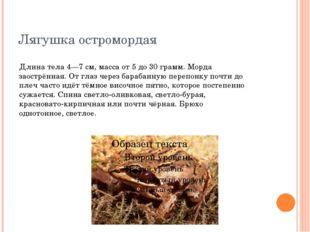 Лягушка остромордая Длина тела 4—7 см, масса от 5 до 30 грамм. Морда заострён