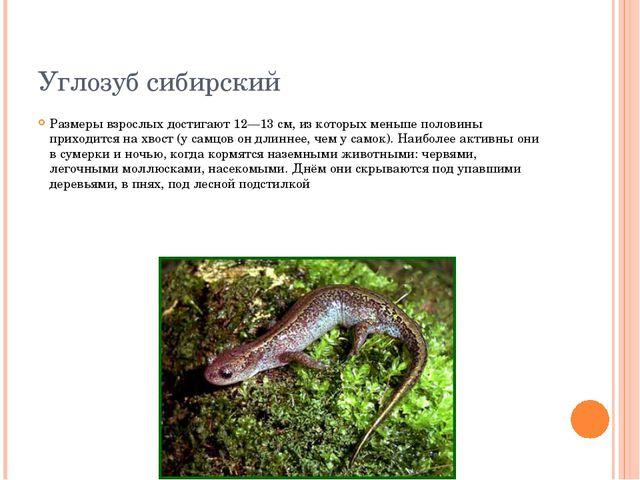 Углозуб сибирский Размеры взрослых достигают 12—13 см, из которых меньше поло...