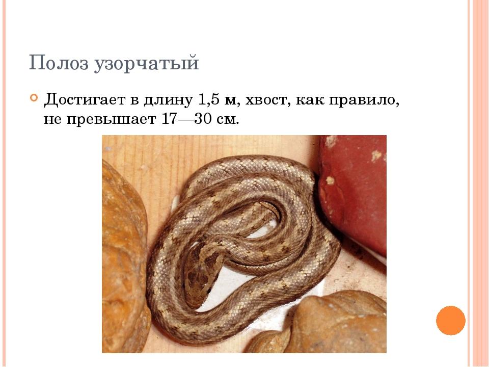 Полоз узорчатый Достигает в длину 1,5 м, хвост, как правило, не превышает 17—...