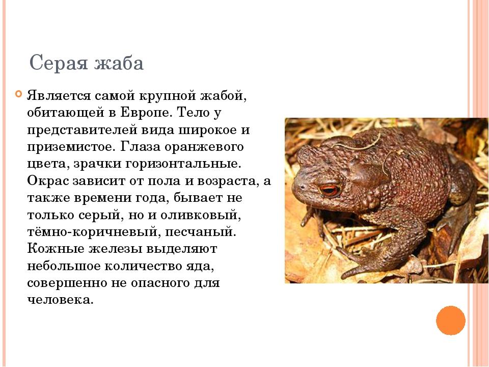 Серая жаба Является самой крупной жабой, обитающей в Европе. Тело у представи...