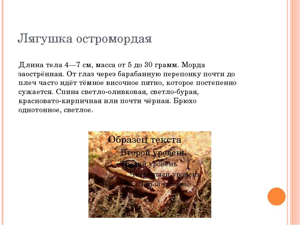 Лягушка остромордая Длина тела 4—7 см, масса от 5 до 30 грамм. Морда заострён...
