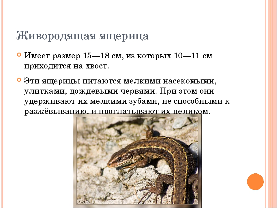 Живородящая ящерица Имеет размер 15—18 см, из которых 10—11 см приходится на...