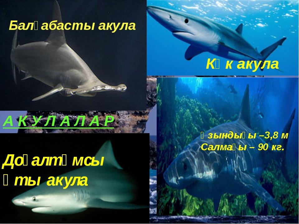 Көк акула Ұзындығы –3,8 м Салмағы – 90 кг. Балғабасты акула А К У Л А Л А Р Д...