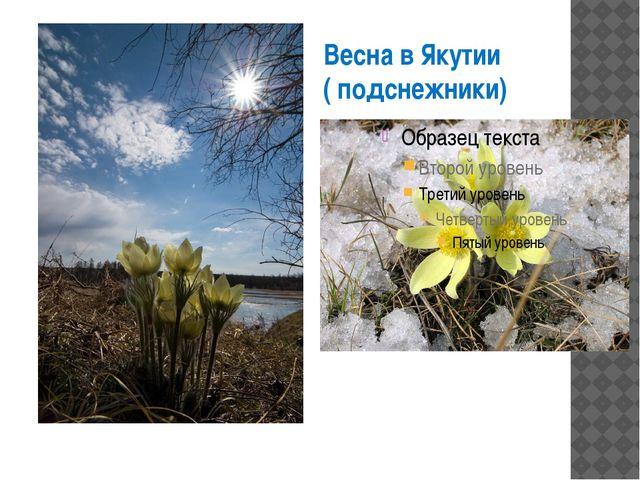 Весна в Якутии ( подснежники)