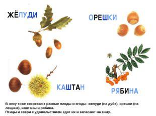 В лесу тоже созревают разные плоды и ягоды: желуди (на дубе), орешки (на лещи