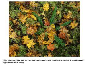 Цветные листики уже не так хорошо держатся за дерево как летом, и ветер легко