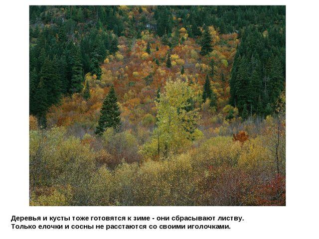 Деревья и кусты тоже готовятся к зиме - они сбрасывают листву. Только елочки...