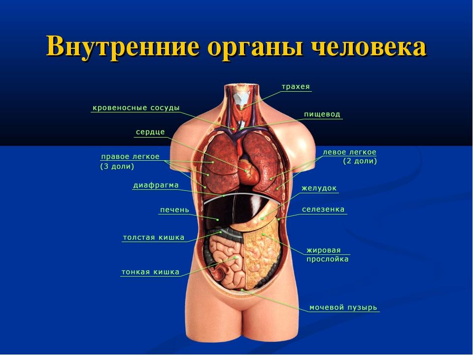 Внутренние органы с картинками