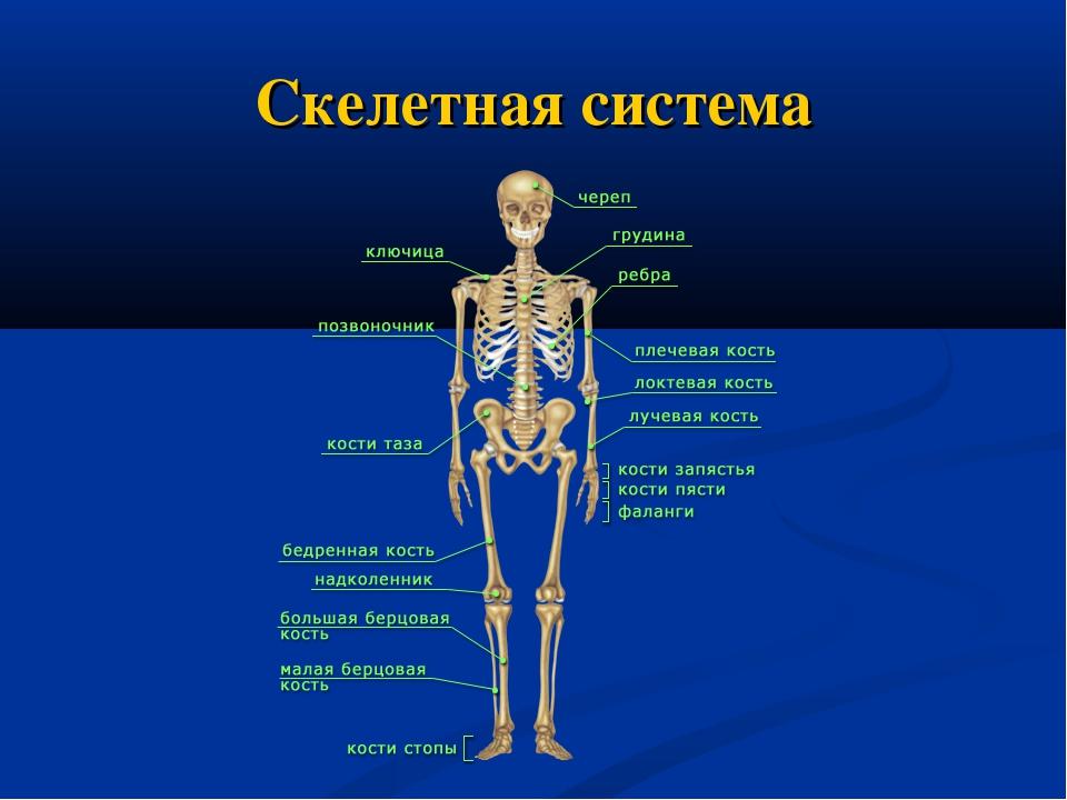 Скелетная система