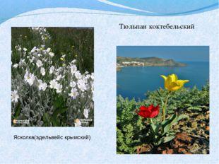 Тюльпан коктебельский Ясколка(эдельвейс крымский)