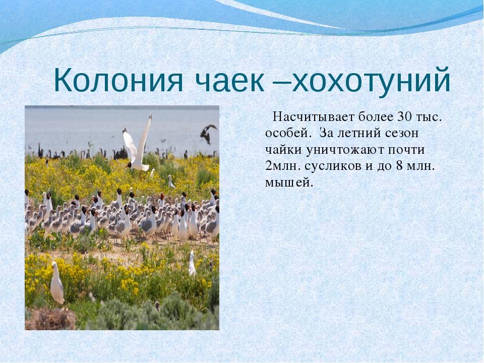 Колония чаек –хохотуний Насчитывает более 30 тыс. особей. За летний сезон ча...