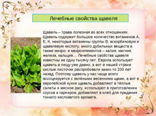 Лечебные свойства щавеля Щавель – трава полезная во всех отношениях. Щавель