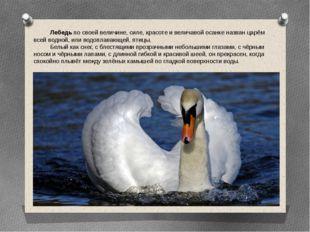 Лебедь по своей величине, силе, красоте и величавой осанке назван царём всей