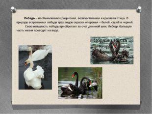 Лебедь – необыкновенно грациозная, величественная и красивая птица. В природ