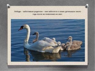 Лебеди – заботливые родители – они заботятся о своих детенышах около года пос