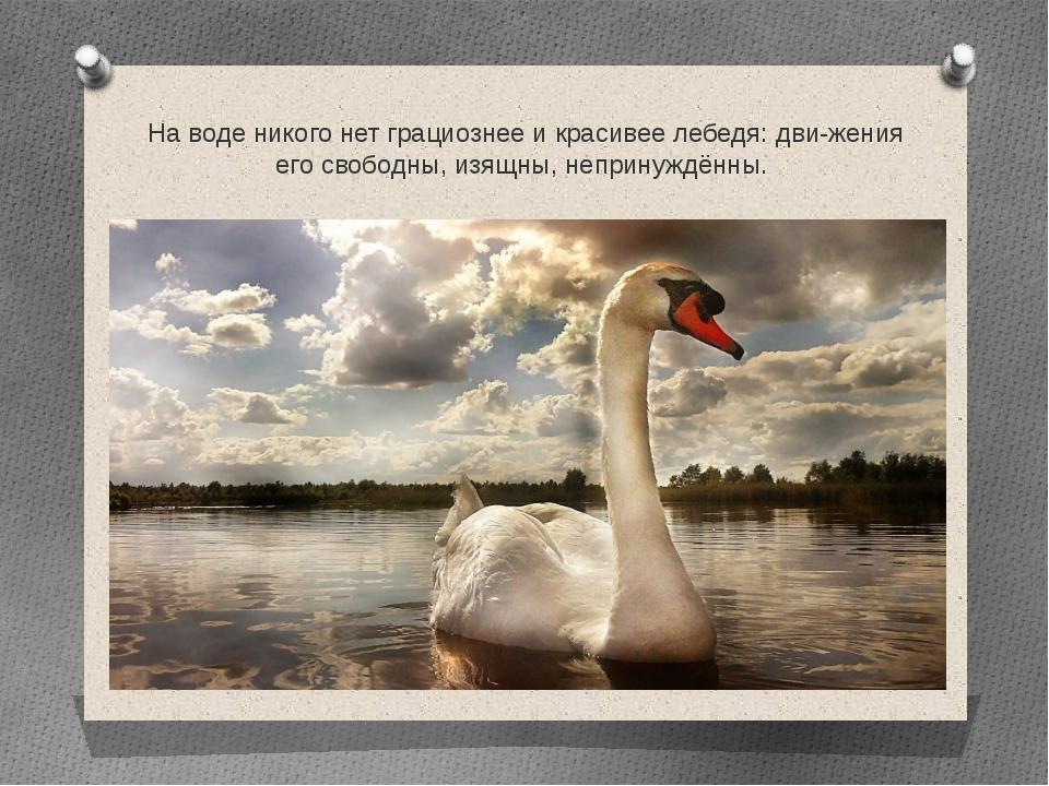 На воде никого нет грациознее и красивее лебедя: движения его свободны, изящ...