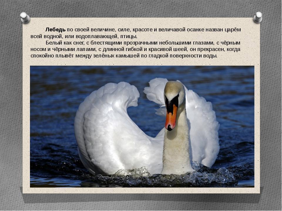 Лебедь по своей величине, силе, красоте и величавой осанке назван царём всей...
