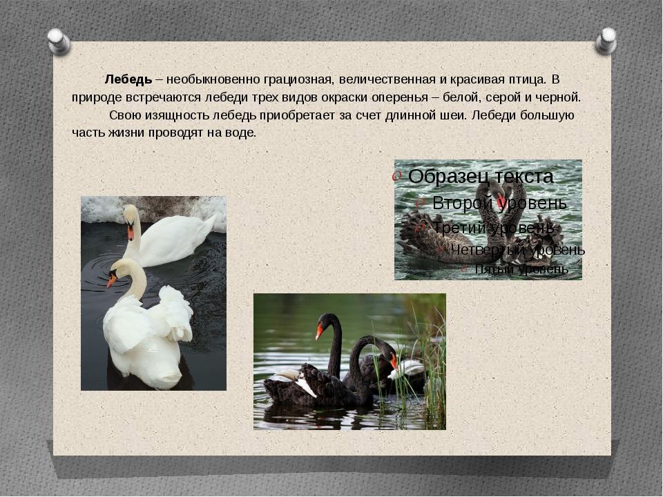 Лебедь – необыкновенно грациозная, величественная и красивая птица. В природ...