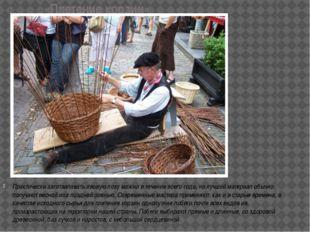 «Плетение корзин» Практически заготавливать ивовую лозу можно в течение всего