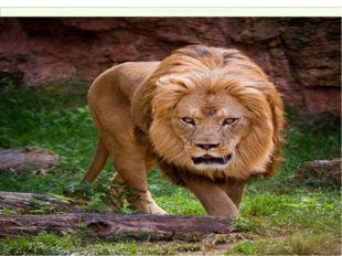Львы - единственные кошки, у которых так поразительно отличаются самцы от сам