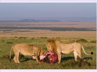 Лев сам по себе является мощным хищником, которому необходимо регулярное пита