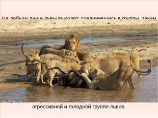 На добычу пищи львы выходят, соединившись в группы, таким образом можно конс