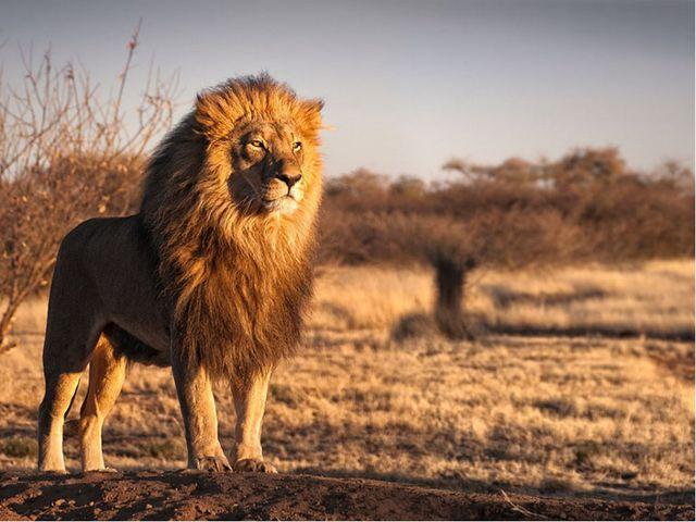 Чаще всего можно было встретить львов в Африке, на Ближнем Востоке, на юге Ро...