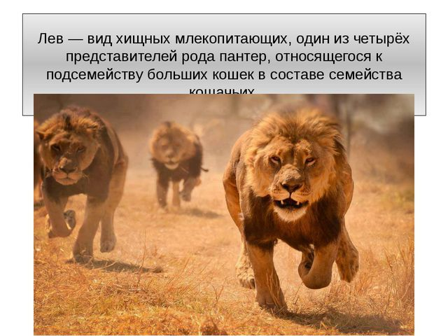 Лев — вид хищных млекопитающих, один из четырёх представителей рода пантер, о...