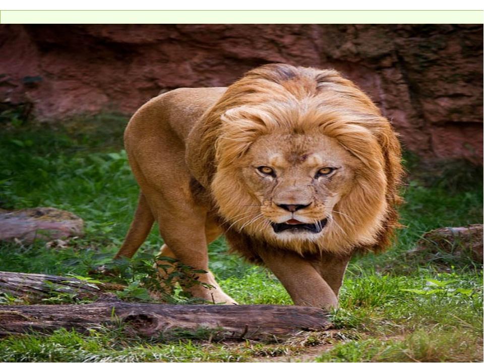 Львы - единственные кошки, у которых так поразительно отличаются самцы от сам...