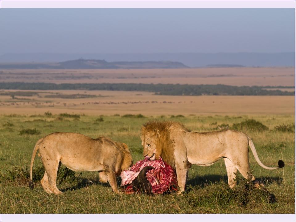 Лев сам по себе является мощным хищником, которому необходимо регулярное пита...