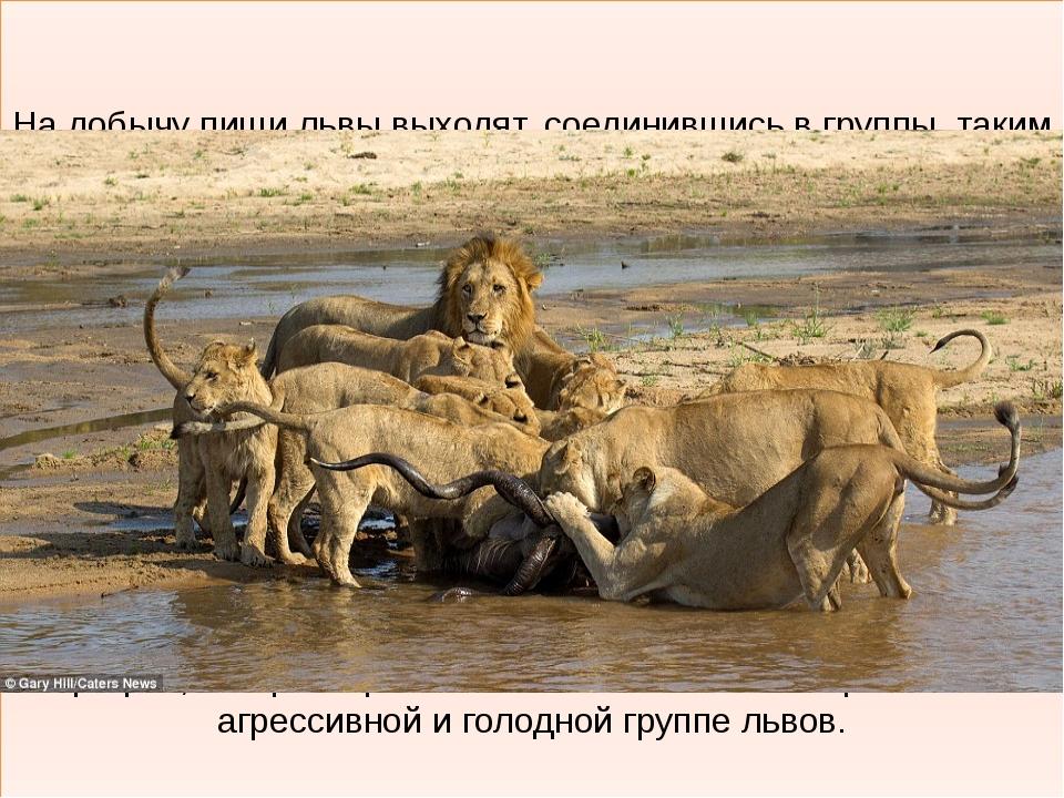 На добычу пищи львы выходят, соединившись в группы, таким образом можно конс...