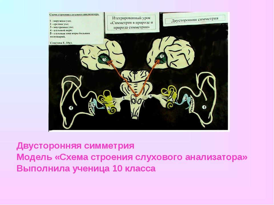 Двусторонняя симметрия Модель «Схема строения слухового анализатора» Выполнил...