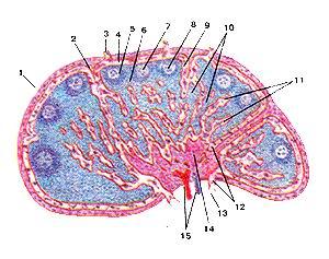 Рис. 246. Лимфатический узел (nodus lymphaticus): Продольный разрез. 1-капсула; 2-трабекула; 3-приносящий лимфатический сосуд; 4-подкапсулярный лимфатический синус; 5-корковое вещество; 6-паракортикальная (тимусзависимая) зона; 7-лимфоидыый узелок; 8-центр размножения лимфоидного узелка; 9-корковый лимфатический синус; 10-мякотные тяжи; 11-мозговые синусы; 12-воротный синус; 13-выносящий лимфатический сосуд; 14-воротное уюлщение; 15-кровеносные сосуды. Fig. 246. Лимфатический узел. Продольный разрез. 1-capsula; 2-trabecula; 3-vas iymphaticum afterentis; 4-sinus lymphaticus infracapsularis; 5-cortex; 6-zonaparaconicalis(/onathymod-ependes); 7-nodulus lymphaticus; 8-centrumreactivum (germinale); 9-sinus lymphaticus corticalis; 10-funes medullares (chordae medullares); 11-medulla; 12-sinushili; 13-vas Iymphaticum enerentis; 14-aggerhili; 15-vasa sanguinea. Fig. 246. Lymphatic node. Longitudinal section. 1 -capsule; 2-trabecula; 3-afTerent lymphatic vessel; 4-subcapsular lymphatic sinus; 5-cortical substance; 6-paracortical (thymusdependent) zone; 7-lymphoid nodule; 8-germintative centre; 9-conical lymphatic sinus; 10-pulpar bands; 11-cerebral sinuses; 12-portal sinus; 13-efler-ent lymphatic vessel; 14-portal intumescence; 15-blood vessels.