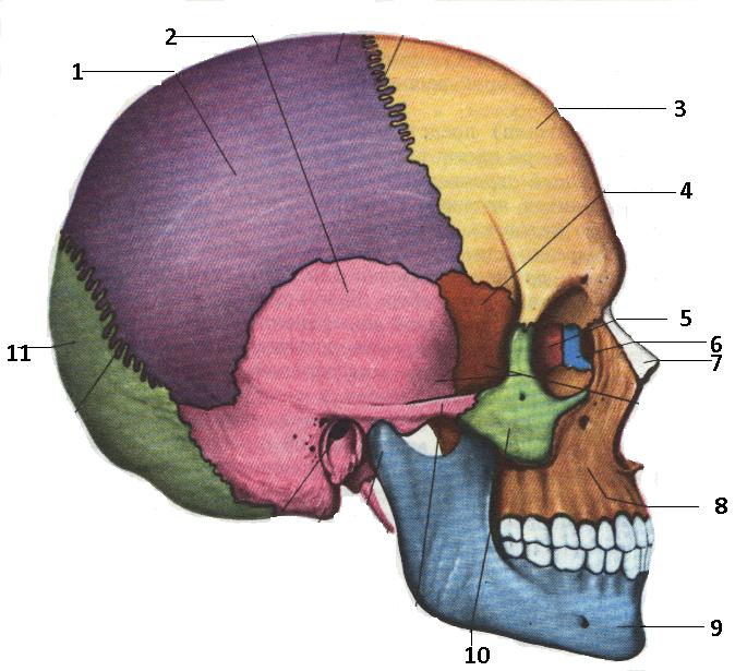 череп сбоку.bmp