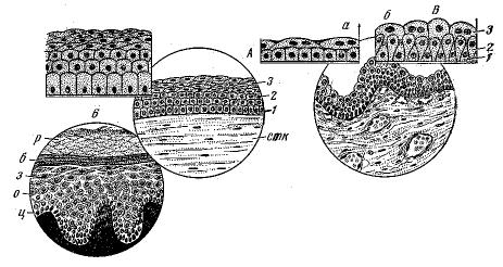 Рис. 3. Многослойные эпителии