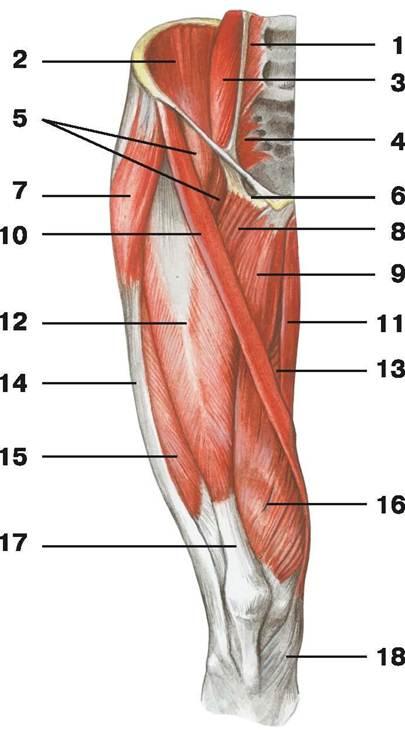 C:\Users\1\Desktop\анатомия\мышцы бедра.jpg