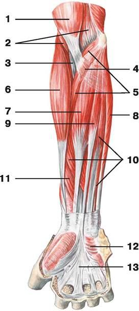 C:\Users\1\Desktop\анатомия\мышцы предплечия.jpg