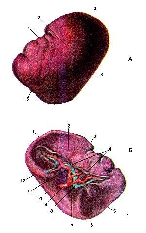 Рис. 244. Селезенка (lien). А-вид сверху (диафрагмальная поверхность); Б—вид спереди (висцеральная поверхность). А; 1-верхний край; 2-диафрагмальная поверхность; 3-задний конец; 4-нижний край; 5-передний конец. Б; I-задний конец; 2-желудочная поверхность; 3-верхний край; 4-брюшина (отрезана); 5-передний конец; 6-ободочно-кишеч-ная поверхность; 7-поверхность (хвоста) поджелудочной железы; 8-селезеночная вена; 9-селезеночная артерия; 10-нижний край; 11-ворота селезенки; 12-почечная поверхность. Fig. 244. Lien. А—вид сверху (диафрагмальная поверхность); Б—вид спереди (висцеральная поверхность). А: 1 -margo superior; 2-facies diaphragmatica; 3-extremitas posterior; 4-margo inferior; 5-extremitas anterior. Б: l-extremitas posterior; 2-facies gastrica; 3-margo superior; 4-peri-toneum; 5-extremitas anterior; 6-facies colica; 7-facies (caudae) pan-creatis; 8-vena lienalis; 9-arteria lienalis;10-margo inferior; ll-hilus lienis; 12-facies renal is. Fig. 244. Spleen. A-superior aspect (diaphragmatic surface), B—anterior aspect (visceral surface). A: 1-upper border; 2-diaphragmatic surface; 3-posterior extremity; 4-inferior border; 5-anterior extremity. B; 1-posterior extremity; 2-gastric impression; 3-superior border; 4-scrous coat; 5-anterior extremity; 6-colic impression; 7-pancreatic impression; 8-splenic vein; 9-splenic artery; 10-inferior border; 11-nic hilum; 12-renal impression.