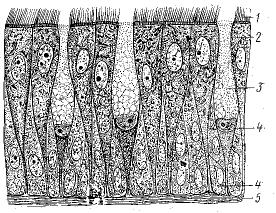 Рис. 2. Однослойный многорядный призматический мерцательный эпителий слизистой оболочки носа