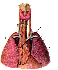 Рис. 240. Тимус Animus). Положение тимуса в фудной полости. Вид спереди. 1 -тимус (правая/левая доли); 2-внутренние грудные артерия и вена; 3-перикард; 4-левое лёгкое; 5-плечеголовная вена (левая). Fig. 240. Thimus. Положение тимуса в грудной полости. Вид спереди. 1-thymus (lobus dexter et sinister); 2-a.et v.thoracica interna; 3-peri-cardium; 4-pulmo sinister; 5-v.brachiocephanica. Fig.240. Thymus. Positions ot'thymus in thoracic cavity. View from the front, l-thymus (right/left parts); 2-internal thoracic artery and vein; 3-peri-cardium; 4-left lung; 5-brachiocephalic vein (left).