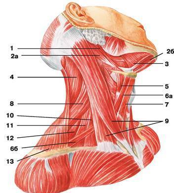 C:\Users\1\Desktop\анатомия\мышцы шеи.jpg